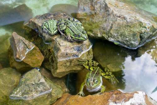 Frogs Reptile Pond Water Swim Toad Animals Frog