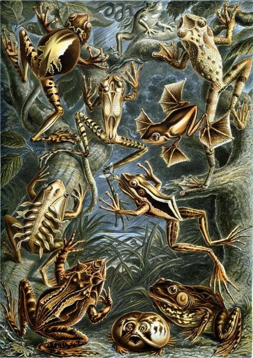 Frogs Amphibious Haeckel Batrachia Amphibians