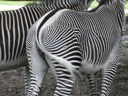 From The Rear Rump Zebras Zebra Tail Striped