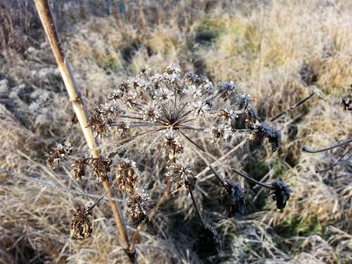 Frost Plant Winter
