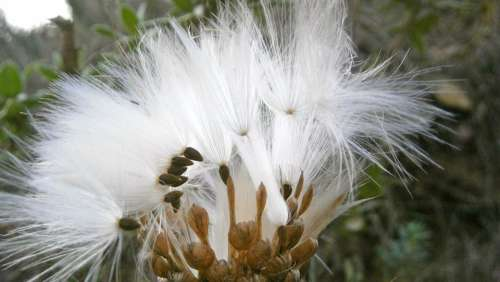 Fruit Seed Thistle Nature Vegetable
