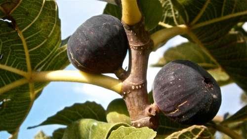 Fruit Figs Higera Tree Vegetable Nature