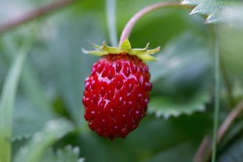 Fruit Strawberry Nature Fruits Red Sweet Berry