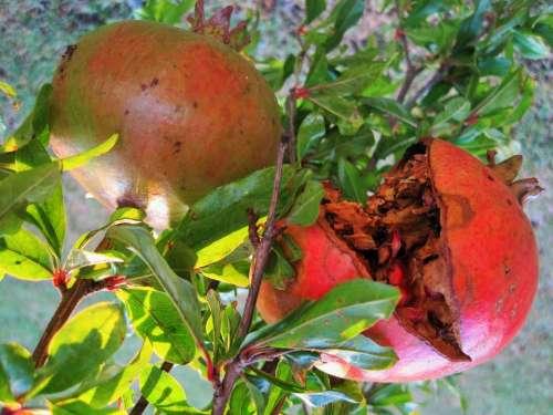 Fruit Pomegranate Round Burst Pips Red