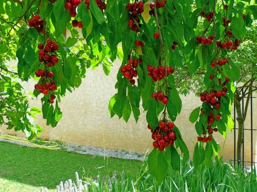 Fruit Fruit Tree Cherries Branches Leaves Red