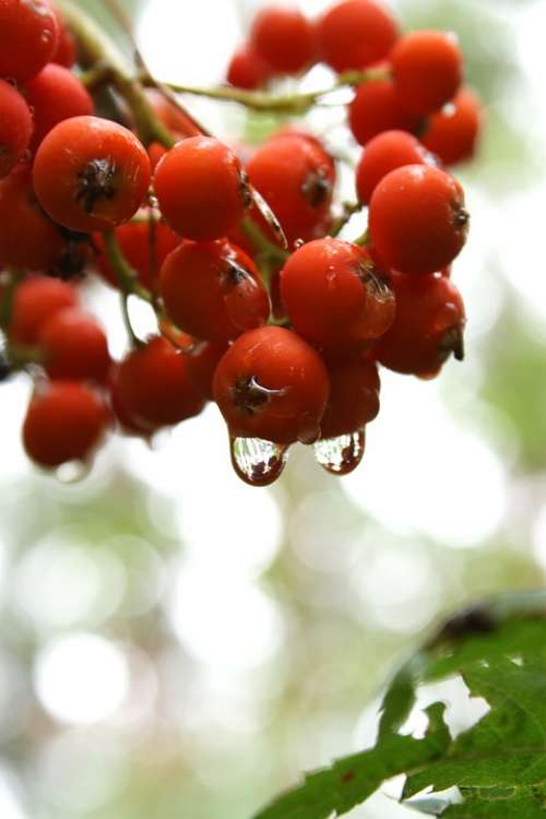 Fruit Rowan Tree Rain Nature Plant The Stem