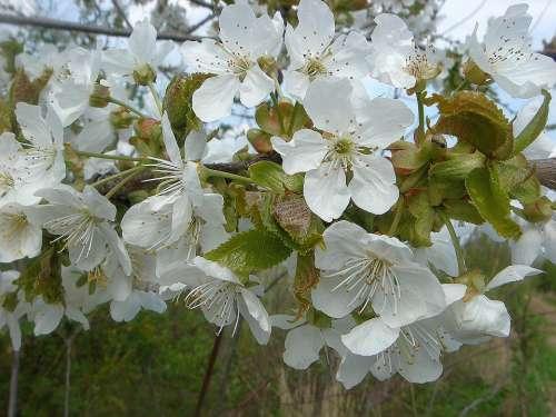 Fruit Tree Spring Flowers White Garden
