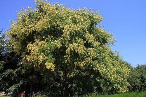 Fruits Golden Koelreuteria Paniculata Rain Tree