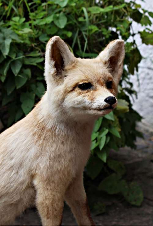 Fuchs Young Fox Wild Nature Forest Animal