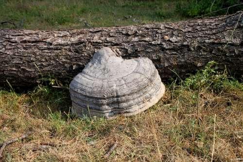 Fungus Hoof Polyporaceae Tinder Trees