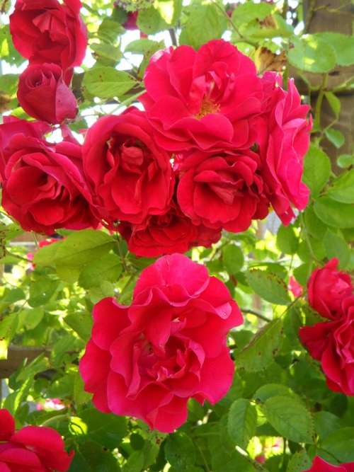 Garden Roses Climbing Roses Rose Trellis Flowers