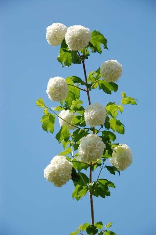 Garden Plant Verbena Snowball Summer Flower