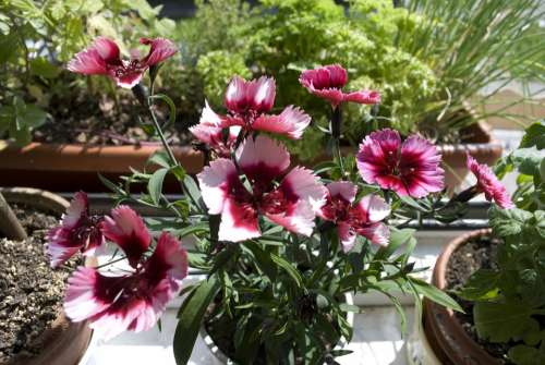 Garden Plant Pink Plant Nature Flower Red