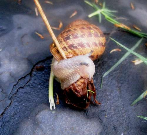 Garden Snail Snail Common Delicate