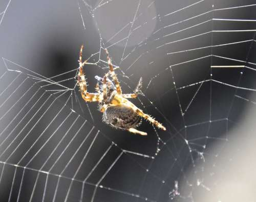 Garden Spider Spin Garden Spider Web