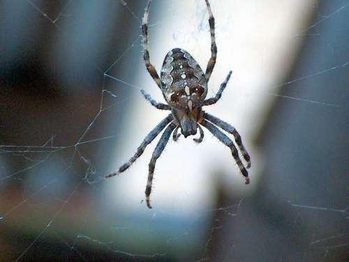 Garden Spider Spider Nature Web Toxic Risk