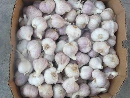 Garlic Healthy Spice Główkowaty Flower Season Pink