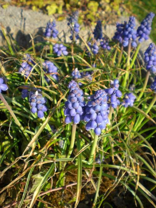 Garteblume Muscari Blue Flower Plant Blossom Bloom