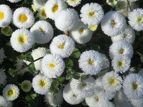 Gartenbuersteli Flowers White Yellow