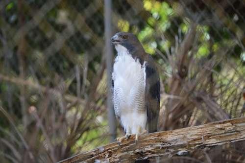 Gavião Bird Wildlife Salvador Bahia