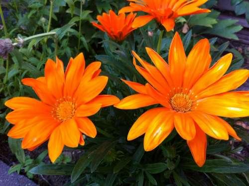 Gazania Splendens Garden Plant Orange