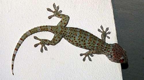 Gecko Tokhe Lizard