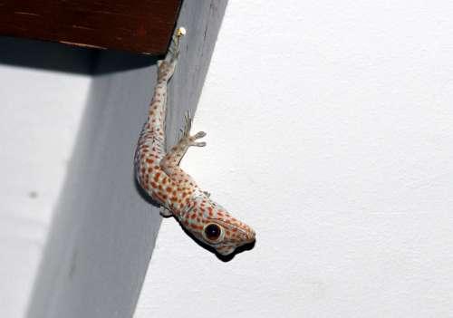 Gecko Asia Reptile Tokhe