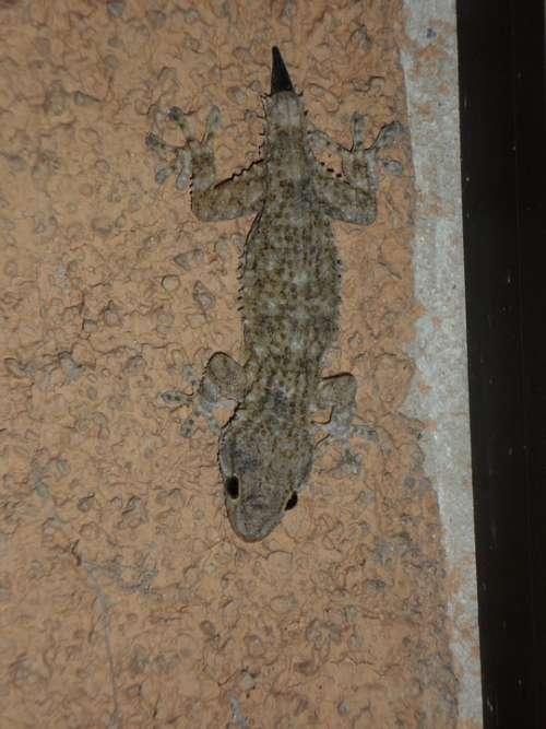 Gecko Mediterranean Reptile Lizard Pigmy Regrowth