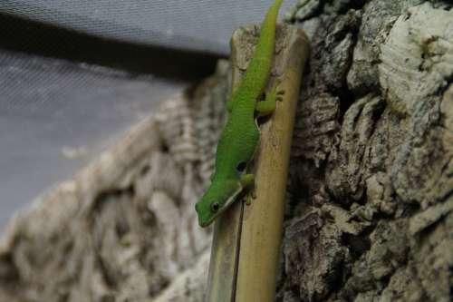 Gecko Green Lizard Reptile Day Gecko Climb