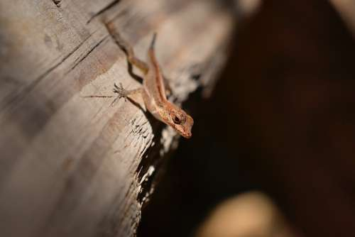 Gecko Lizard Reptile Nature Wildlife Red