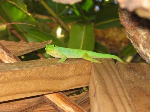 Gecko Green Lizard Green Gecko Seychelles Flora