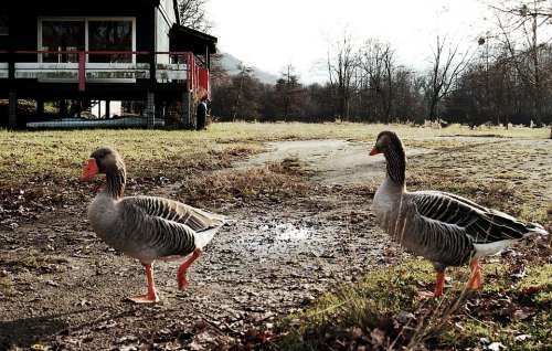 Geese Oca Nature Pond Landscape Animals Ave