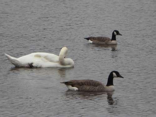 Geese Canada Geese Goose Canada Goose Swim Lake