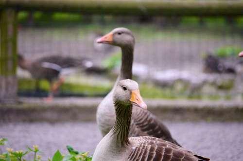Geese Animal Zoo Bird Nature