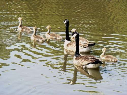 Geese Young Cute Spring Life Wildlife Gosling