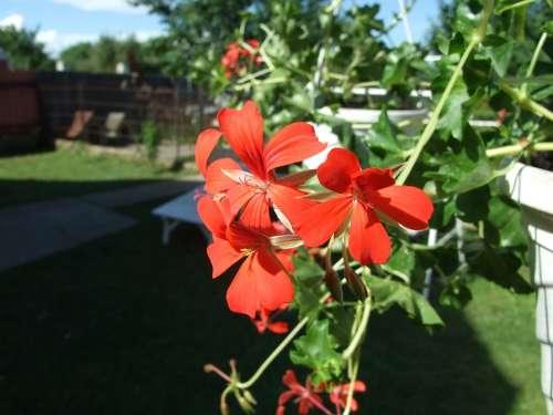 Geranium Flower Red Flower Garden Plant Macro