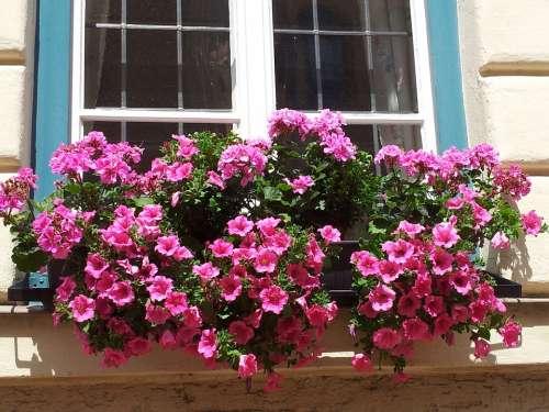 Geranium Petunia Summer Flowers Plant Pink Nature