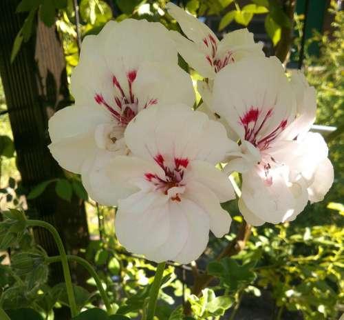 Geranium Garden Flowers