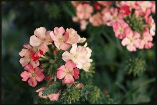 Geranium Geraniums Basket Flowers Garden Blooming