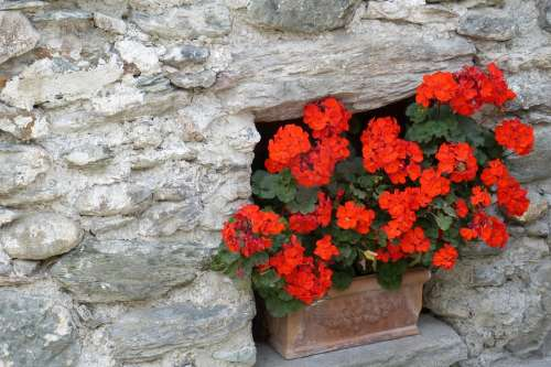 Geranium Stone Wall Flowers Red Floral Decorations