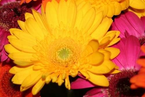 Gerbera Yellow Flower Summer Flower