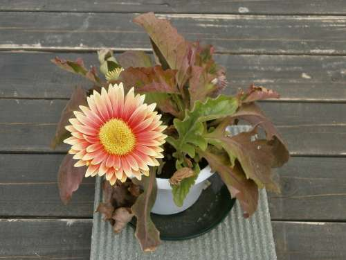Gerbera Spring Flowers Potted Plants