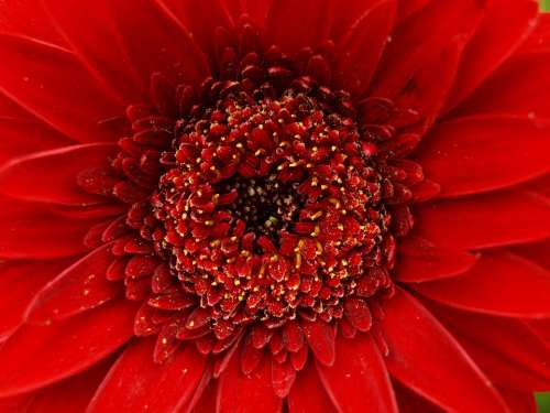 Gerbera Red Flower Blossom Bloom Macro