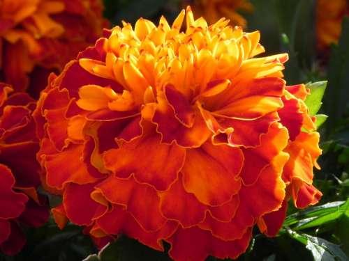 Gerbera Flower Orange Blossom Bloom Macro Plant