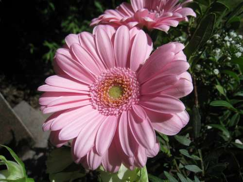 Gerbia Flower Pink Summer Foliage Colors