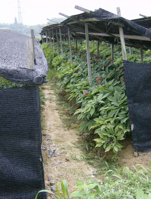 Ginseng Agriculture Export