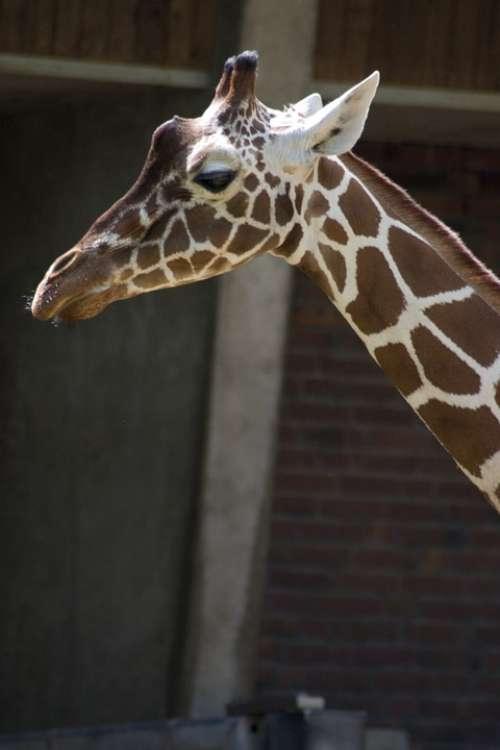 Giraffe Neck Animals Animal World Nature Wild