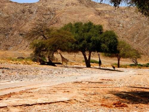 Giraffe Mammal Tree Thorns Sun Shade Shelter