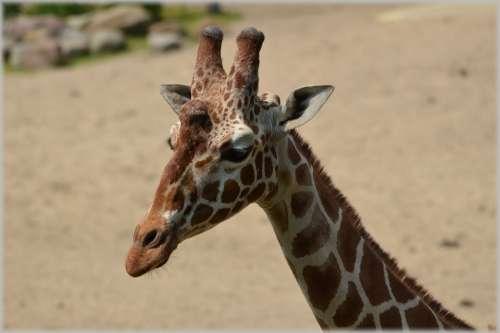 Giraffe Giraffa Camelopardalis Animal Savannah Wild