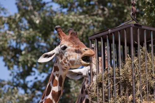 Giraffe Animal Zoo Nature Neck